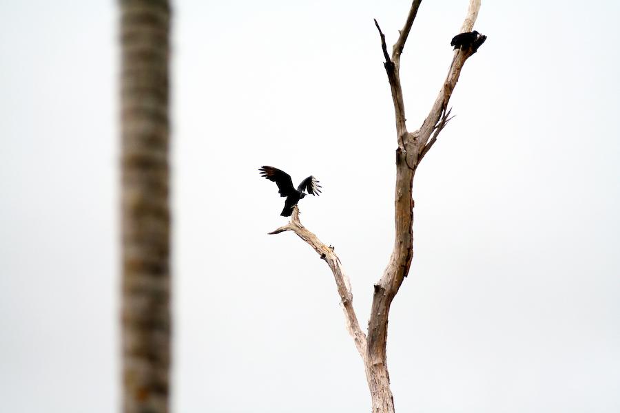 Brésil, Amazonie, les vautours tournent autour ..., janvier 2006