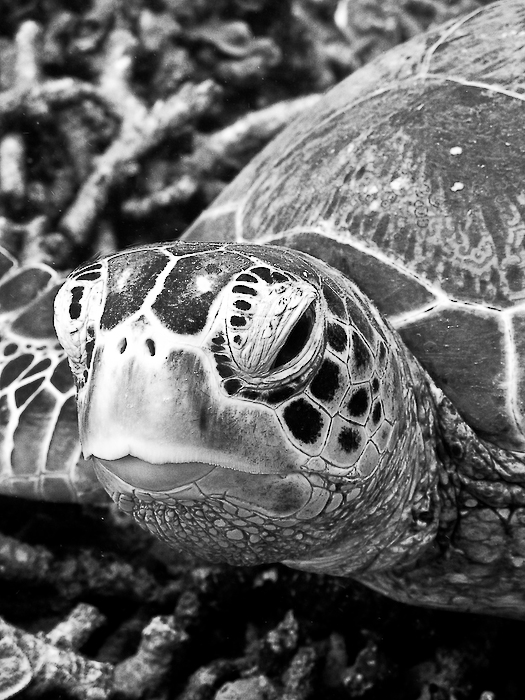 Malaysie, Sipadan, portrait de tortue à -30m, août 2010