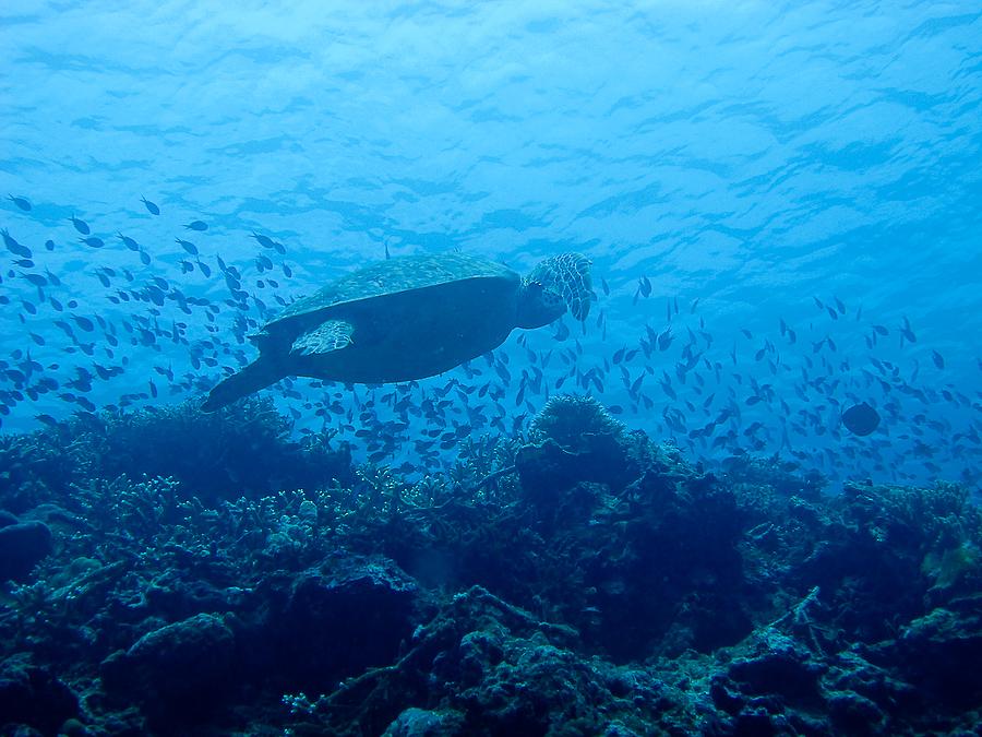 Malaysie, Sipadan, tortue remontant à la surface, août 2010