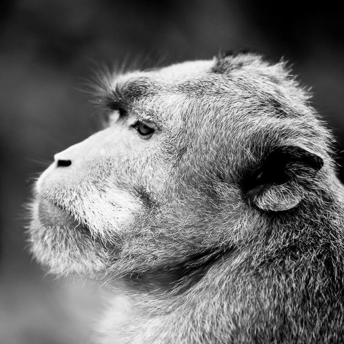 Indonésie, Bali, Ubud, portrait de singe, août 2009