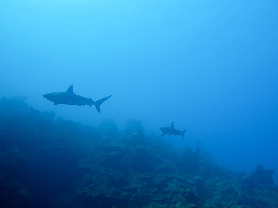 Bahamas, requin gris 5