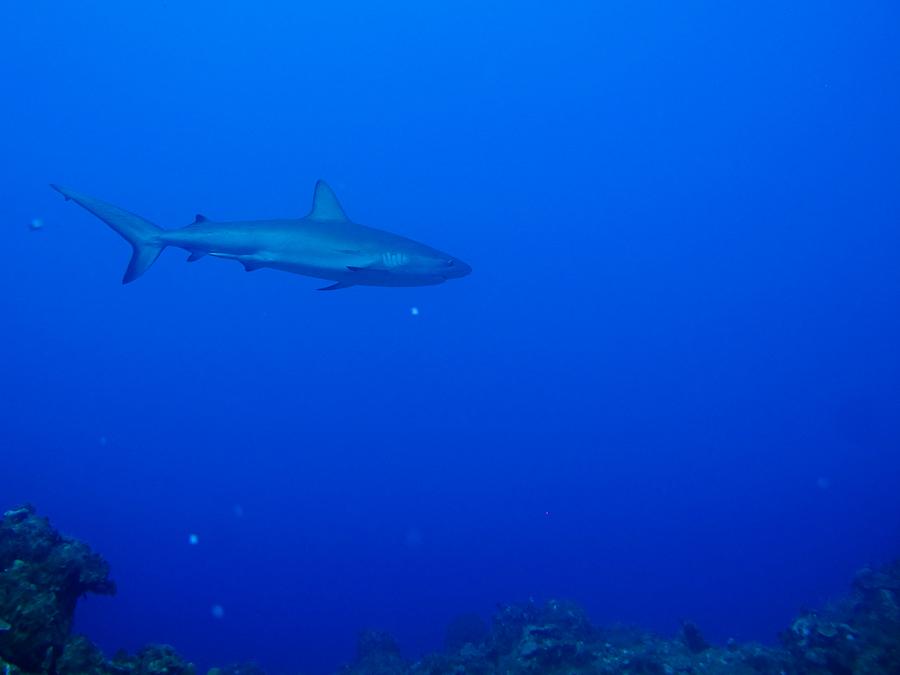 Requin gris Bahamas 2