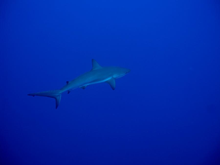 Requin gris Bahamas