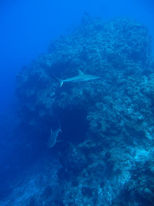 Bahamas requin gris 7