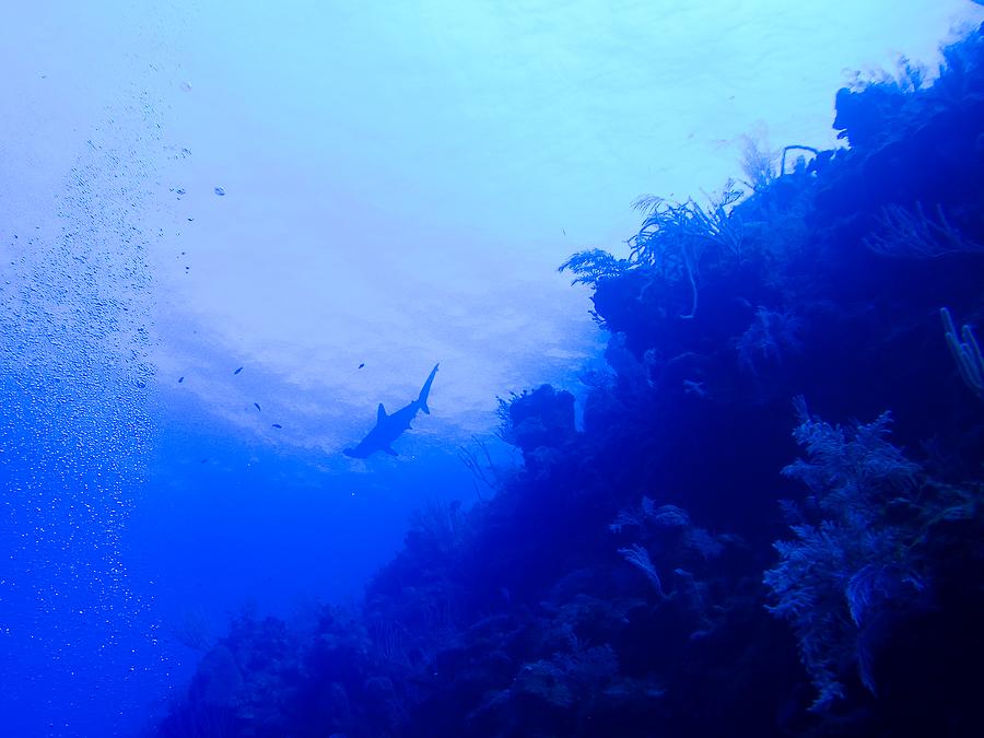 Bahamas, requin marteau